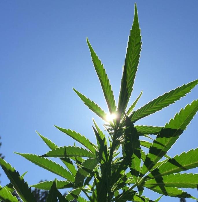 sun-peeks-thru-weed