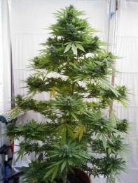 new-xmas-tree-sm
